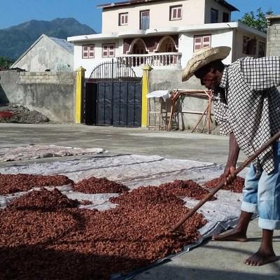 cacao drying Haiti