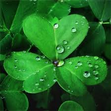 3 Leaf Clover--Luck of the Irish