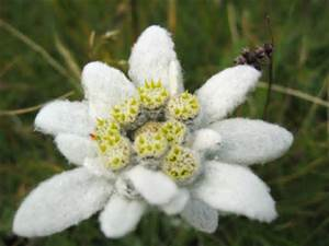 Behind the Song: Edelweiss