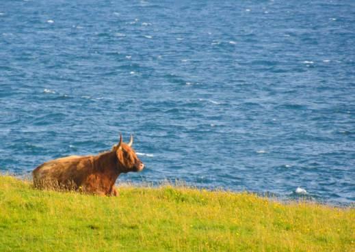 Highland-Rind mit beneidenswerter Aussicht