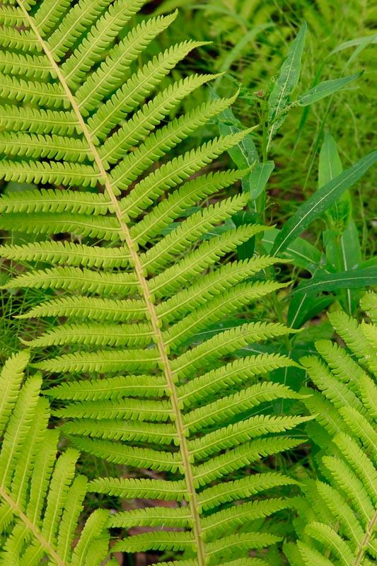 Fern Leaf - Summer Foliage Talkeetna Alaska