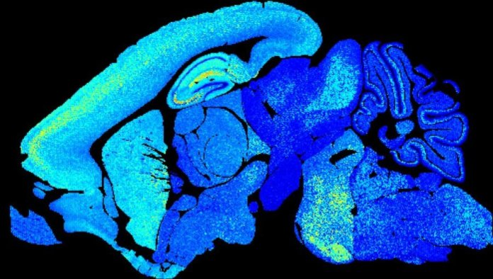 young mouse brain synapse diversity