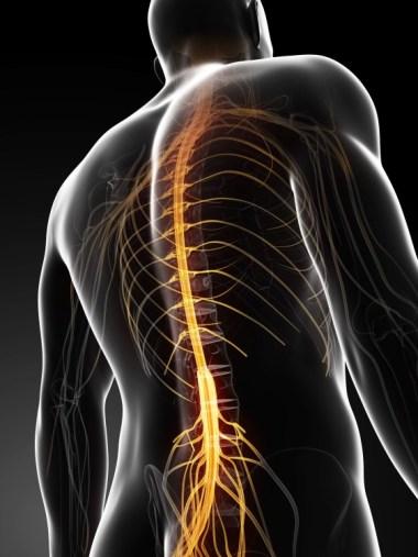 spine nerves