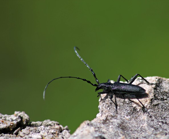 mountain bug