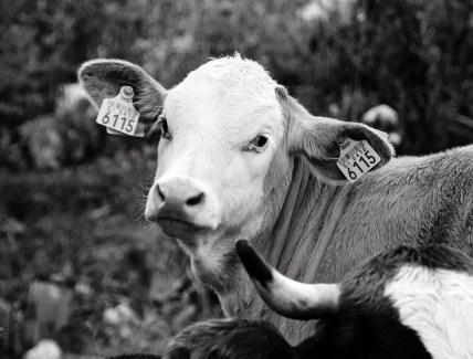 random cows on the hill