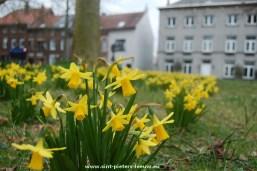 2015-03-22-narcissen-pracht-in-Sint-Pieters-Leeuw_03