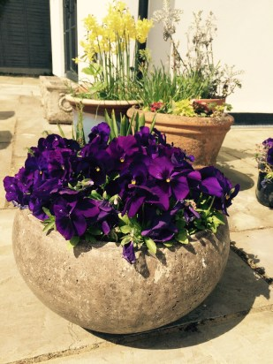 Purple Pansies in a round pot