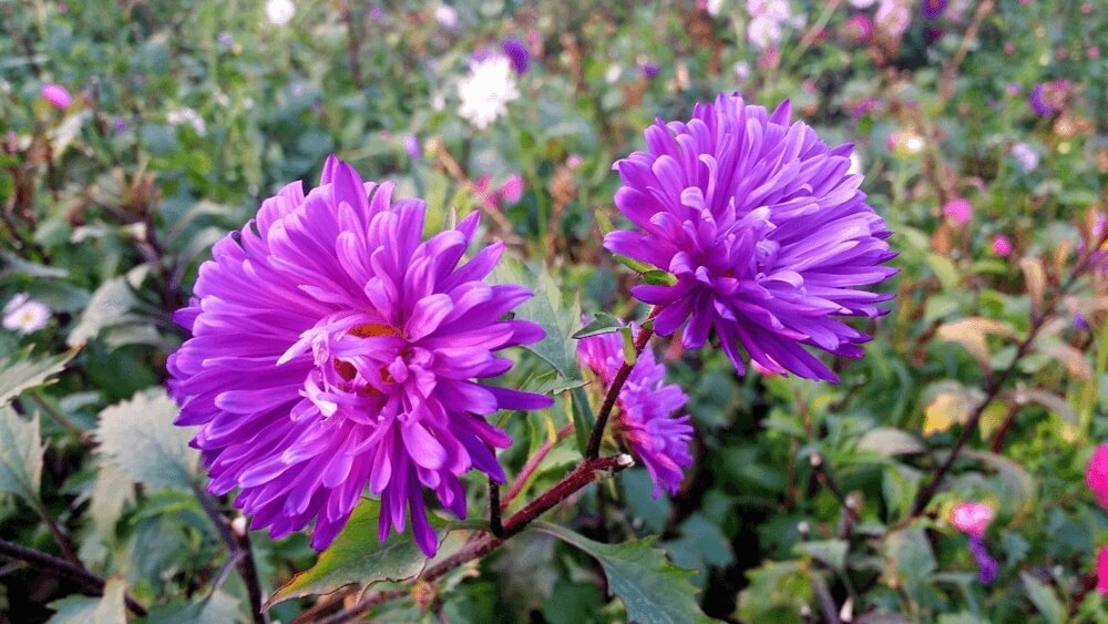 Good morning images of Beautiful Aster Flower