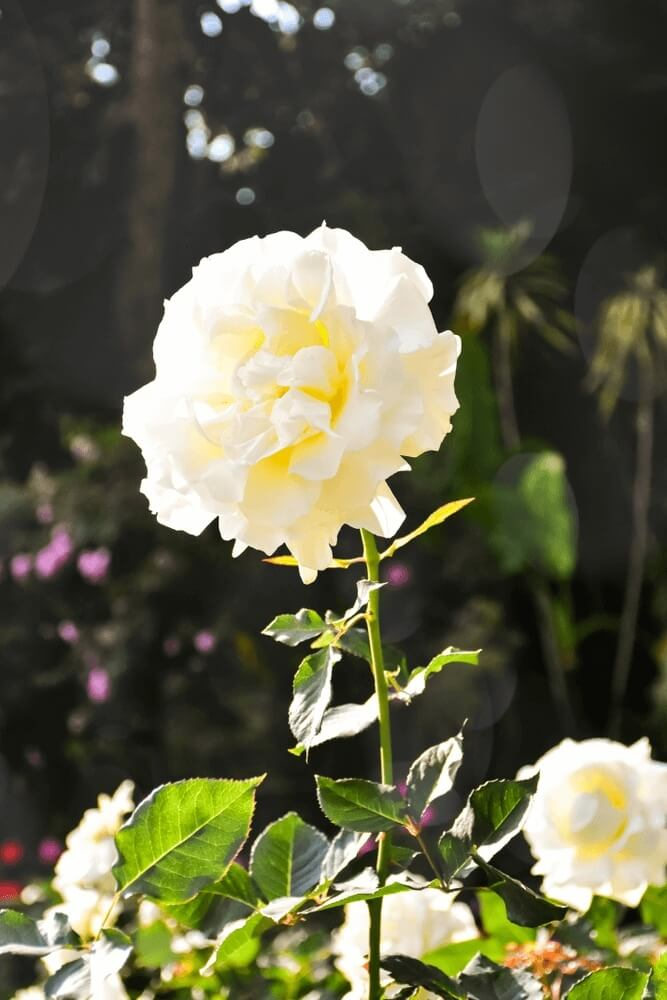 Good morning images of White rosesflowers