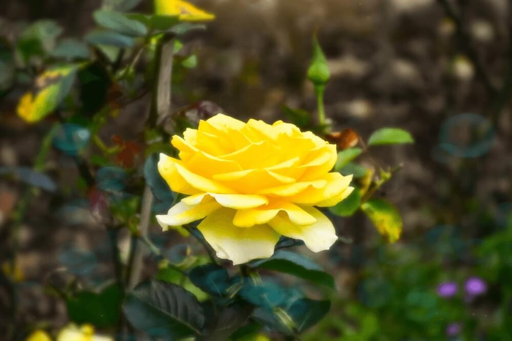 Good morning images of  Yellow rose flowers