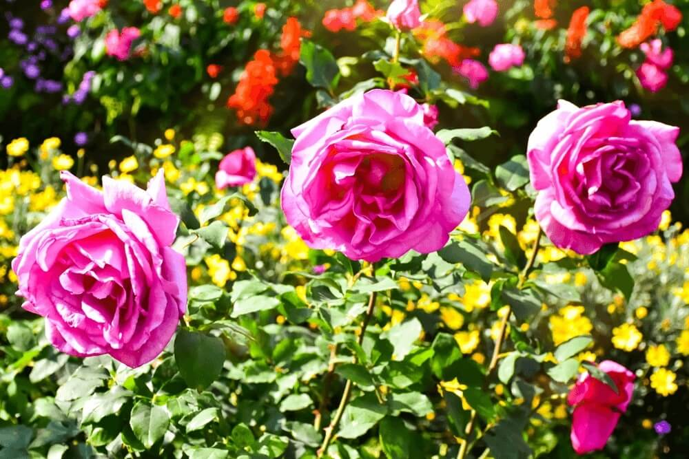 Good morning images of  rose nature flowers
