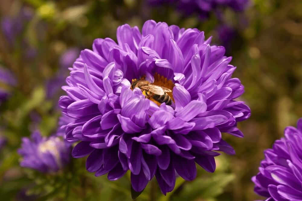Good morning images of purple aster flowers