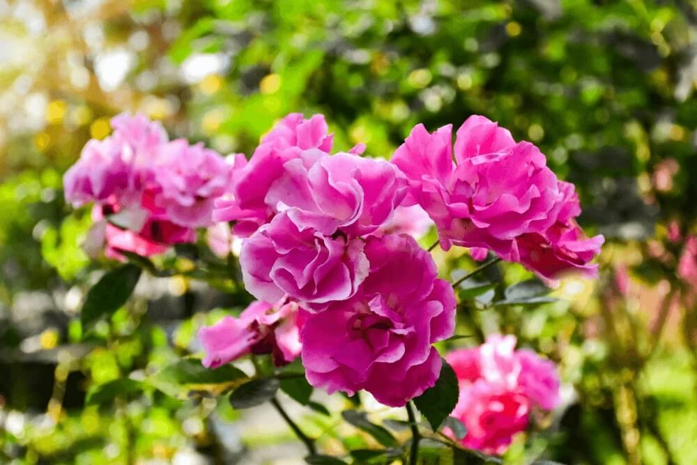 Good morning images of rose In the garden with a blurred green flowers