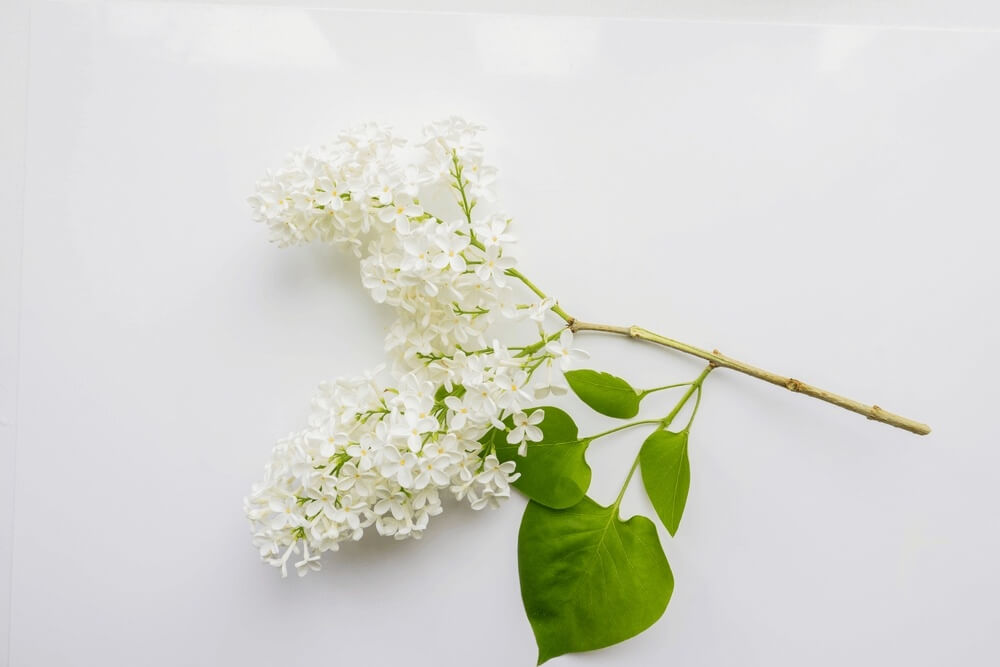 Good morning images withBranch of lilac on a white Flowers