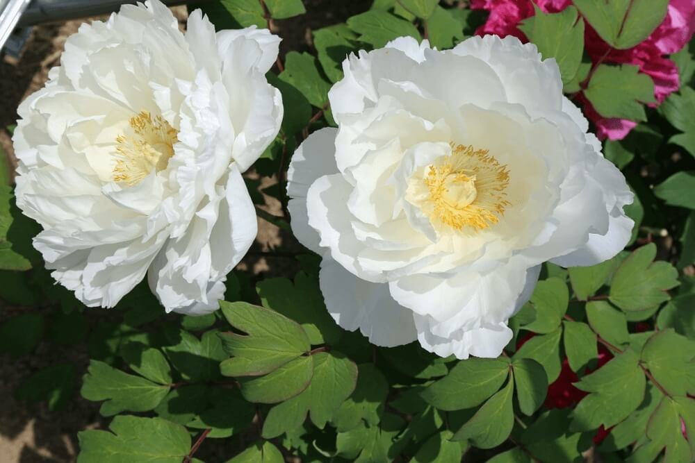 Good morning images with flower of peony blooming of roses