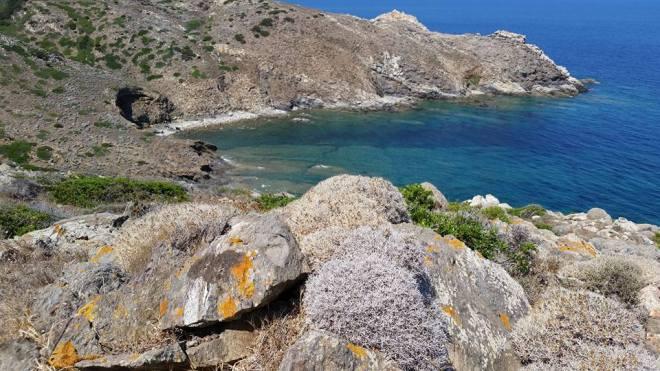 Cala Sa Nave in basso si apprezzano alcuni cespugli di centaurea orrida scoperti sull'isola dal Botanico Emanuele Bocchieri dell'Università di Cagliari. (la foto è di Ivan Chelo 10.08.2015)