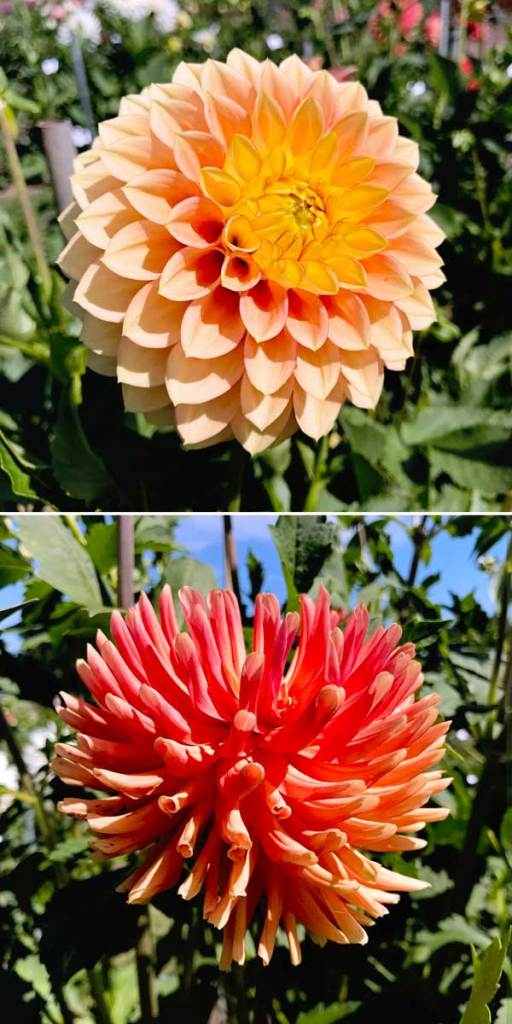PDX day trip idea: Swan Island Dahlias in Canby Oregon - one of the most beautiful flower fields in the PNW! These are gorgeous orange dahlias
