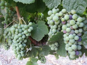 Deeply Rooted in the Sonoma County Wine Community at Rodney Strong Vineyards