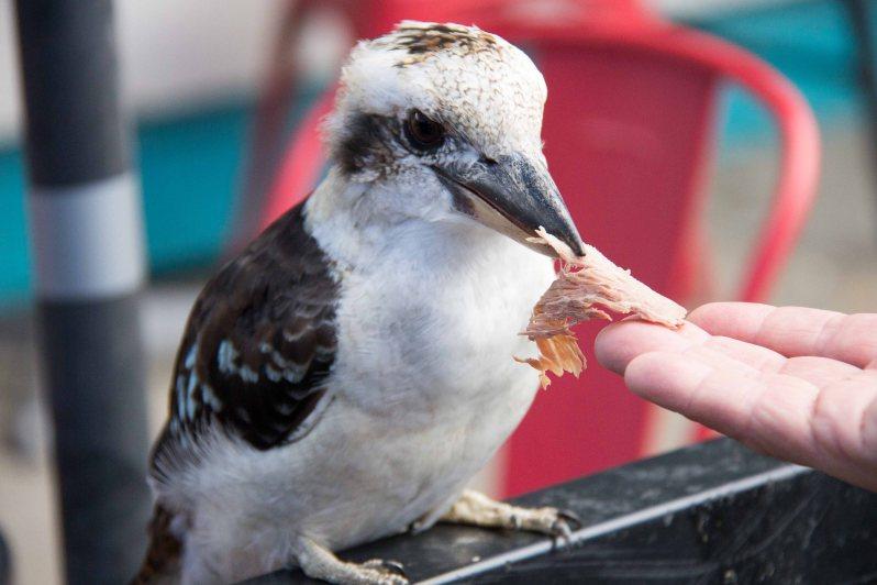 Kennett River Kookaburra Bird.jpg