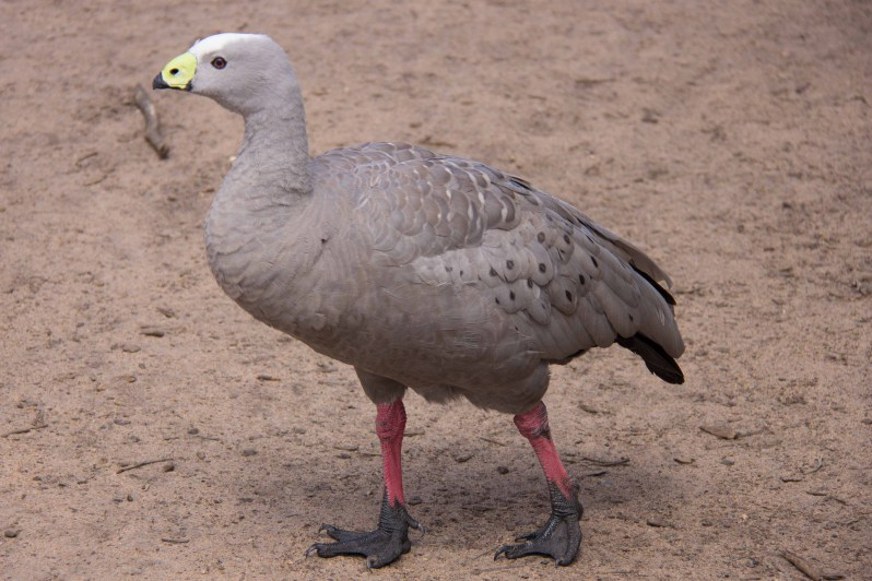 moonlit-sanctuary-cape-barren-goose