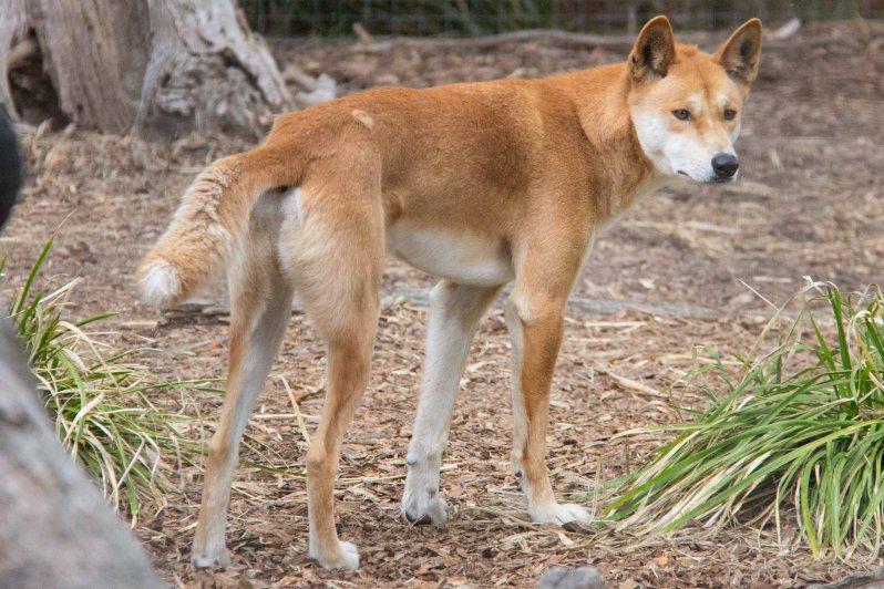 moonlit-sanctuary-dingo