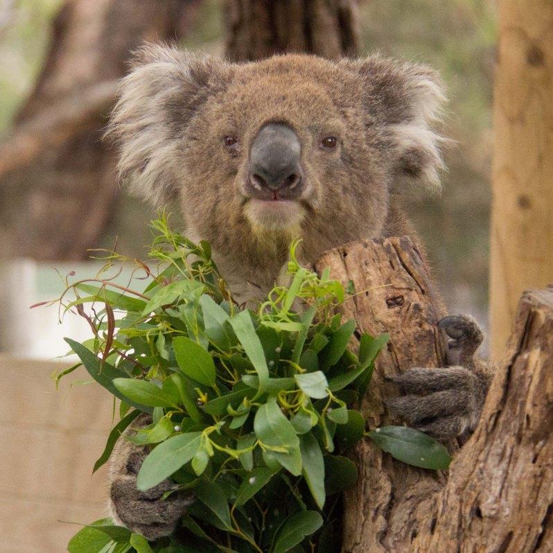 moonlit-sanctuary-koala-encounter