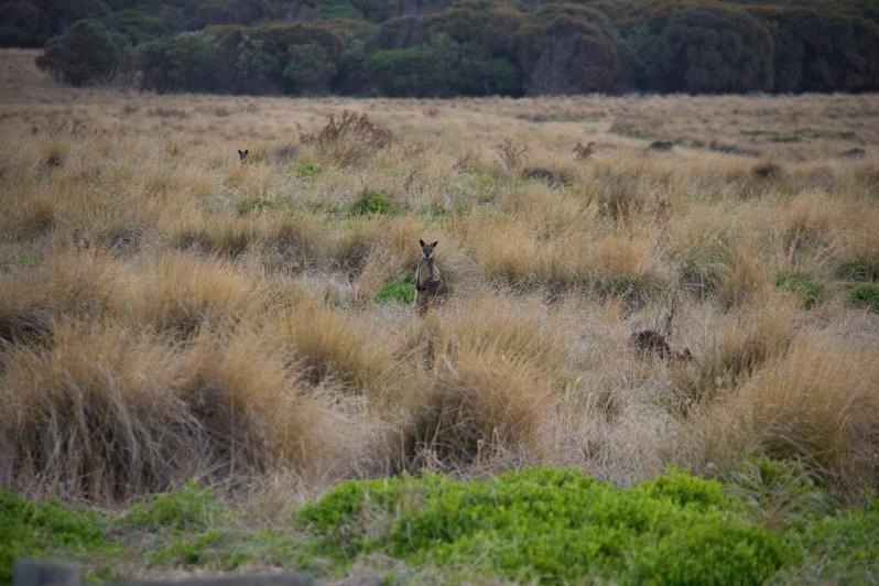 Phillip Island Wallabies.jpg