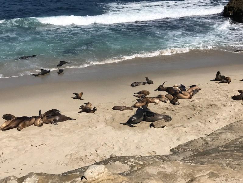 La Jolla Cove Seals and Sea Lions