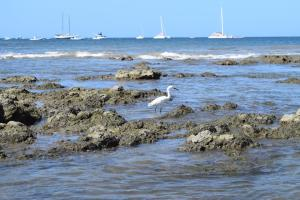 Wildlife doing some fishing in the Tamarindo surf