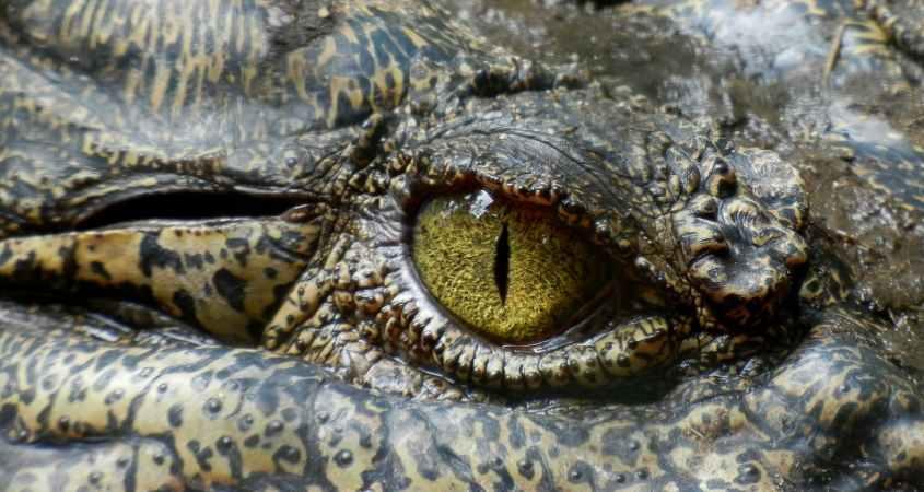 green eyed reptile