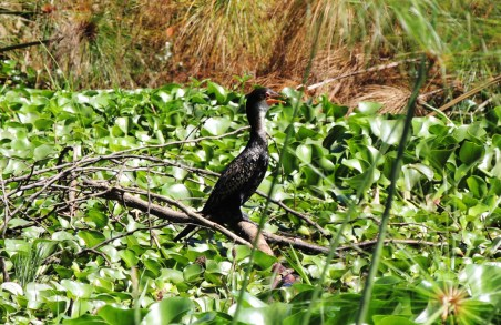naivasha cormorant