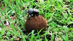 naivasha dung-beetle