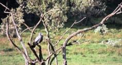hells gate african-harrier-hawk