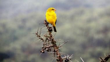 hells gate canary