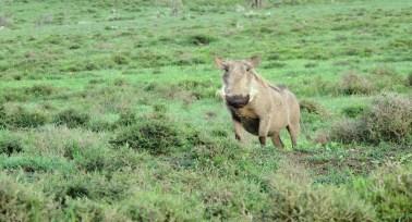 hell's gate warthog