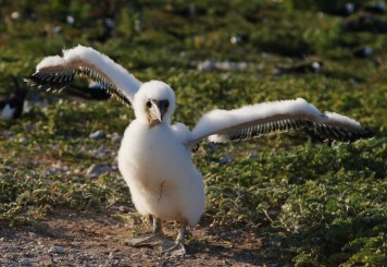 Booby chick
