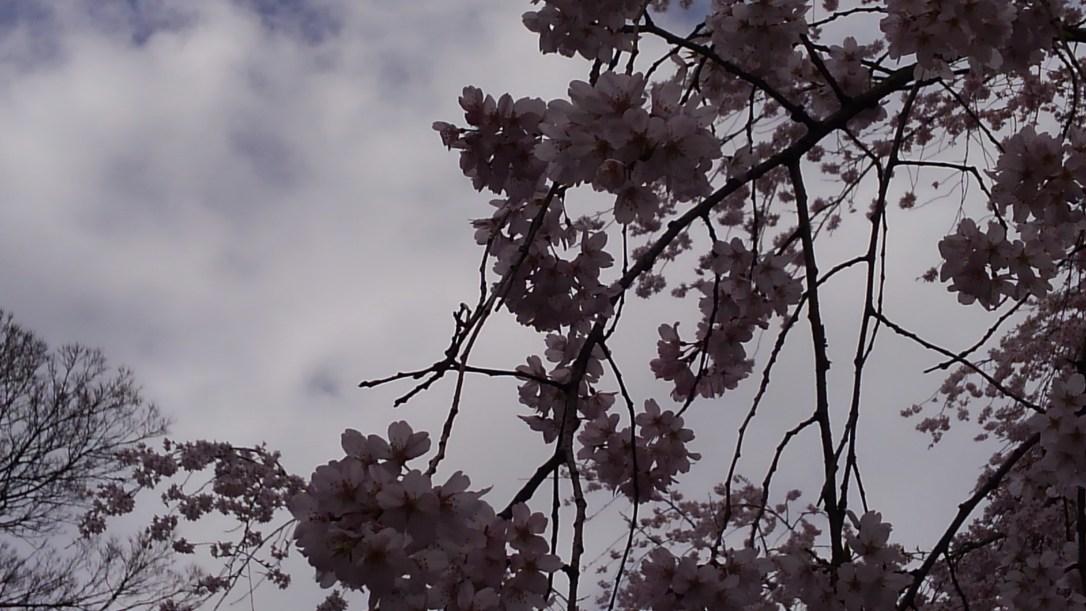 六義園_しだれ桜3