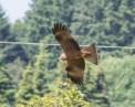Raptor - Serandon, Dordogne, France