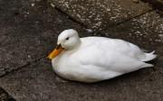 Duck - Erddig