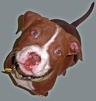 pitbull2
