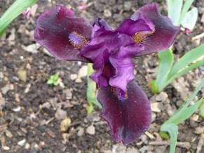 Iris 'Sissinghurst'