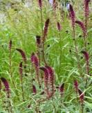 Lysimachia in Hugo Bugg's garden