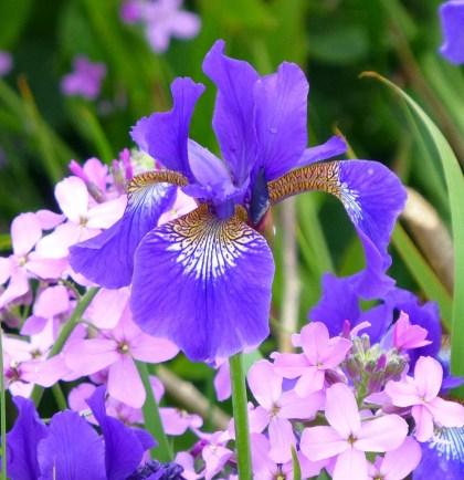 Iris sibirica 'Kenogami' with Hesperis matronalis