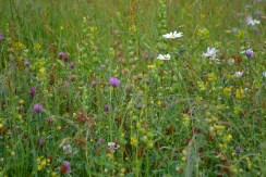 Red clover and oxeye daisies