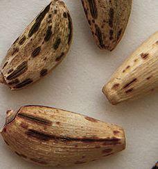 Cynara cardunculus seeds