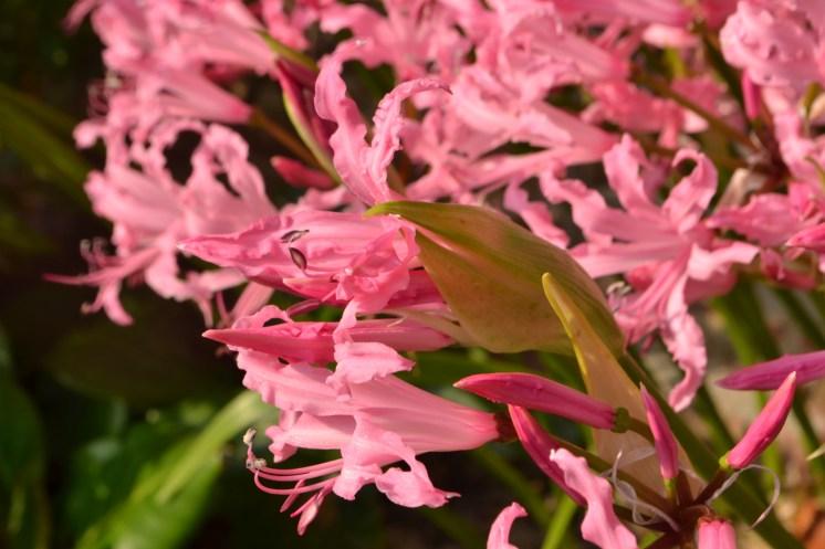 Nerine bowdenii 'Praecox'