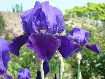 Iris 'Black Douglas'
