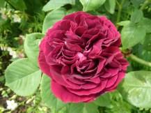 Rosa 'Souvenir du Dr Jamain'