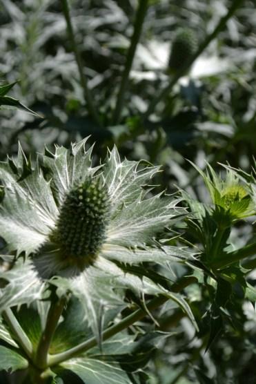 Eryngium giganteum.jpg 'Miss Wilmotts Ghost'