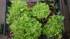 Lettuce 'Green Salad Bowl' and 'Marvel of Four Seasons'